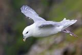 One Fulmar glide on the wind along a cliff on Shetland Islands