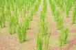 Leinwandbild Motiv water bamboo(zizania latifolia) farm