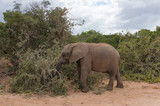 Baby African elephant eating the bush in Africa