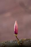 Blumen nicht ganz aufgelöst Magnolie