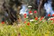 canvas print picture - Mohnblumen auf der Wiese