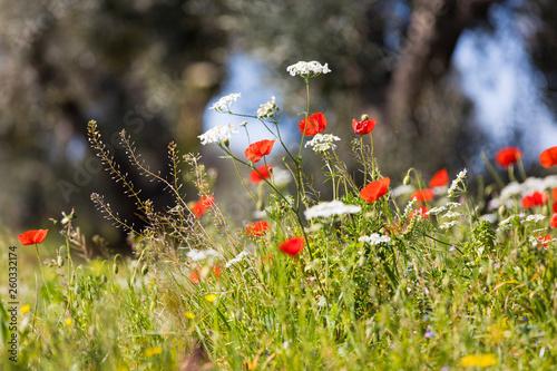 canvas print picture Mohnblumen auf der Wiese