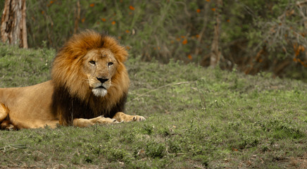 Male Lion Laying Down in the Grass