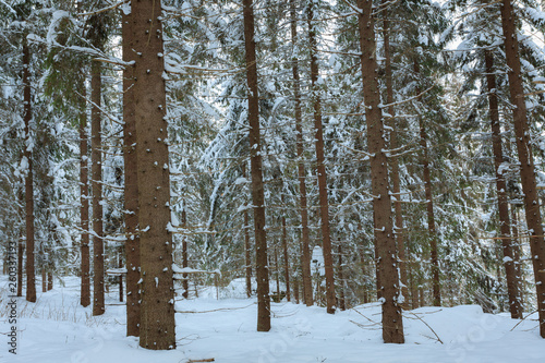 Spruce tree trunks in the forest background