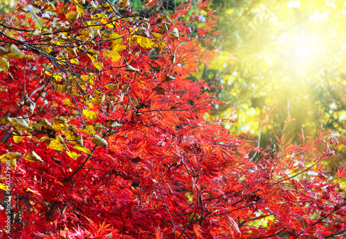 Japanese maple or Acer palmatum branches on the sunny autumn garden - 260337908