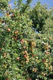 Apple tree with many apples on Lake Maggiore, Italy
