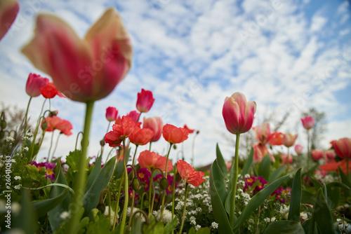 Tulipe et pavot dans les nuages © Natura