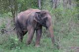 Close up Wild Elephant in the Elephant ,POWER of KUIBURI, Thailand