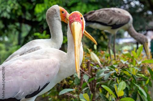 Yellow-billed stork in Kuala Lumpur bird park. Close-up