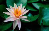Lotus flower in pond with lotus leaf Nature background.