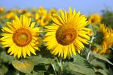 yellow sunflowers on a field on blue sky background Mature flowers sunflower field, summer, sun, large selenella.