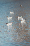 Black headed gulls on lake surface with reflections.
