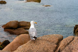 Seagull on rocks in Pink Granit Coast