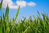 Fototapeta Fototapety na sufit - Trawa na tle błękitnego nieba © piotrszczepanek