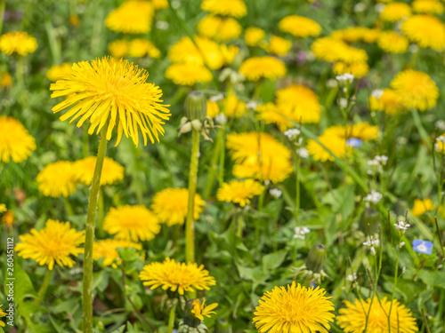 Löwenzahnblume im Frühling - 260451112