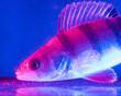 Leinwandbild Motiv Fish perch swims in the aquarium in blue and pink color