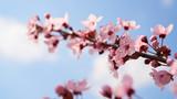 Fototapeta Coffie - Kwitnące drzewa © piotrszczepanek
