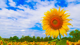 closed up Sun flowers with blue sky background.