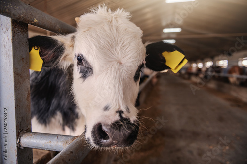 Close up of cute curious calf with tags on ears looking at camera. Byre interior. © dusanpetkovic1