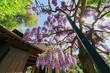Quadro Wisteria blossom in Japanese Garden of Huntington Library