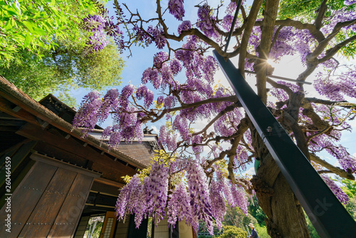 Wisteria blossom in Japanese Garden of Huntington Library