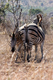 Zebra mother and calf staying close together