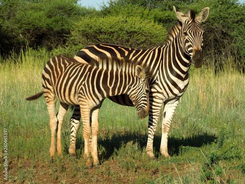 Zebra mother and calf in Kruger National Park - 260465397