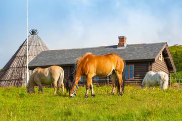 Scandinavian fjord beautiful horses on pasture