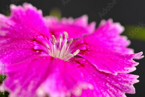 dianthus flower - 260470386