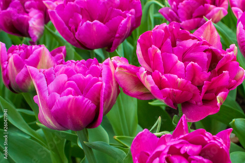 Beautiful sping flowers - tulips, narcissus - 260471941
