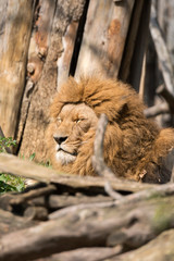 lion resting in a zoo in italy
