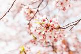 Beautiful full bloom cherry Blossom in the early spring season. Pink Sakura Japanese flower