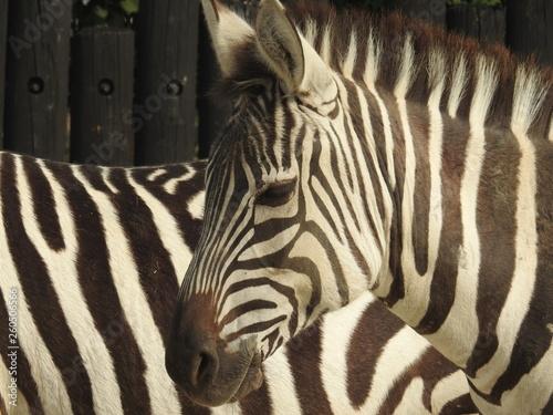 Zebra collection #1 - 260506566