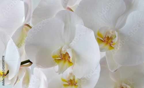 white orchid on white background - 260514774