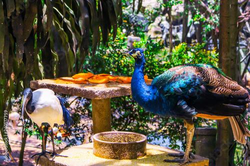 The image of peacocks with their feed (fruits) in Kuala Lumpur Bird Park in Kuala Lumpur, Malaysia.