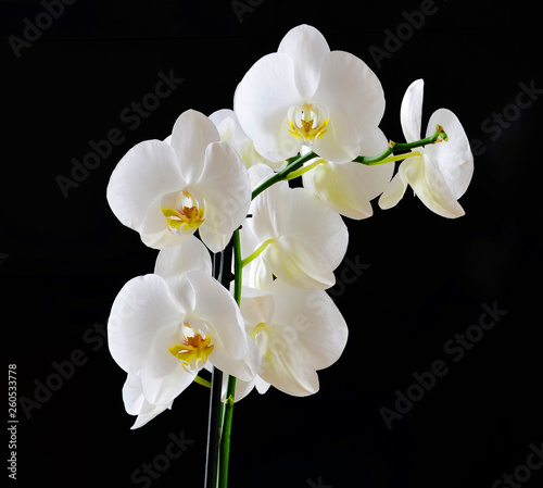 white orchids on black - 260533778