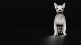 Chihuahua dog sitting on dark background front view  3d render