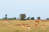 Fototapeta Sawanna - Savanna landscape with a herd of Thomson's gazelles © Lars Johansson