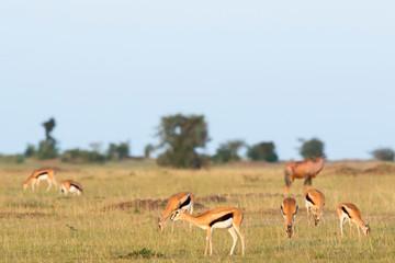 Savanna landscape with a herd of Thomson's gazelles