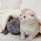 British lop-eared kittens.