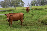Herd of cows in a grassy field with a fence in front of them Green grass growing everywhere