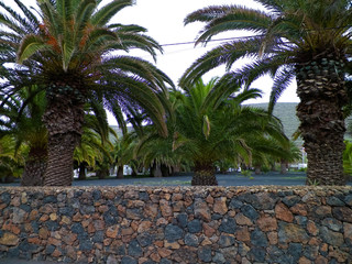 Palms in Haria, Lanzarote, Canary Islands.