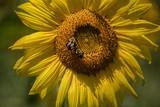 Sunflower Macro with Bee