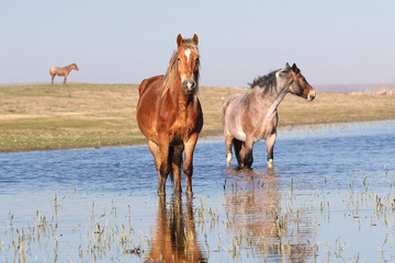 Three pony on the watering place