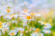 Daisies on a summer green meadow. Blurred floral background