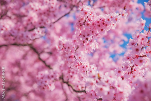 Beautiful flowering peach tree, the texture of flowers peach - 260590951