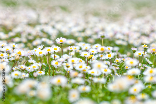 Chamomile flowers spring field background. - 260592946