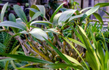 The big orchid plant with several stems and huge green leafs at sunny day