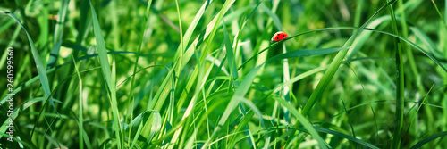 Fresh green grass on a meadow in the sunlight, ladybug on the grass, macro, spring summer natural image. Panoramic view. - 260599560