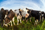 few cute cows on green pasture over sky
